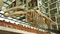 Gabriel Orozco, Mobile Matrix, 2006. Graphite on gray whale skeleton. Installation view at Biblioteca Vasconcelos, Mexico City, 2006. Courtesy of the artist and Marian Goodman Gallery, New York